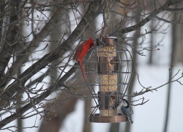 cardinalandblackcappedsm