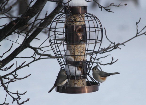 Tuffed Titmouse...or would it be Titmice?